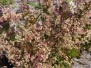 Searsia cuneifolia