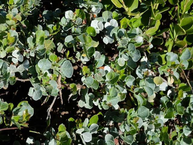 Searsia glauca