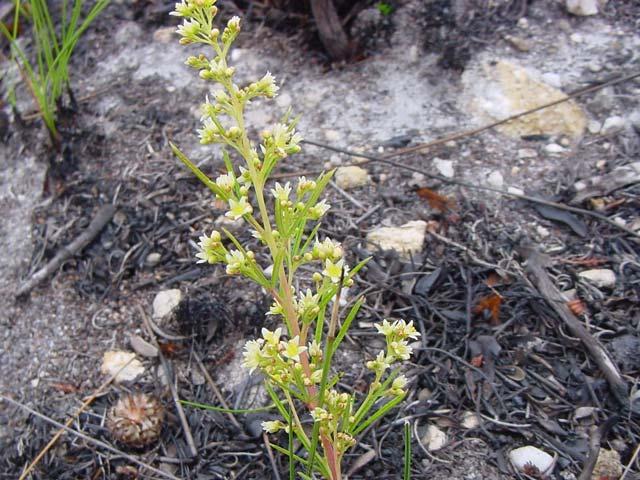 Searsia rosmarinifolia