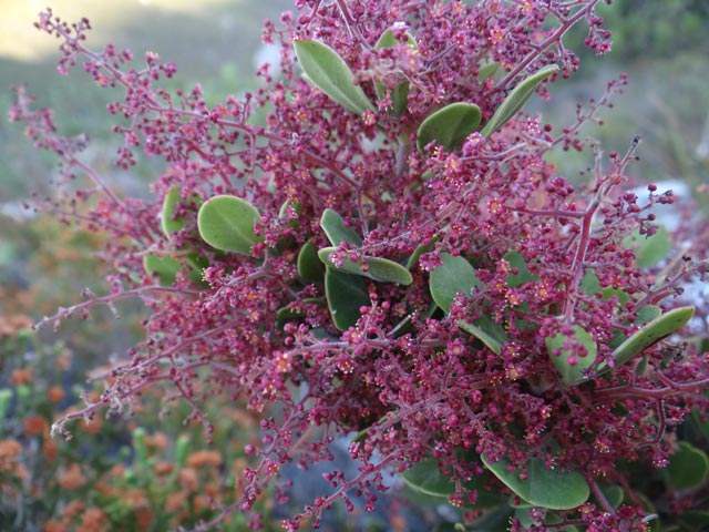 Searsia scytophylla var. scytophylla