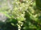 Searsia tomentosa