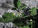 Solanum nigrum *