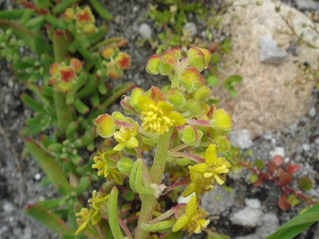 Tetragonia fruticosa
