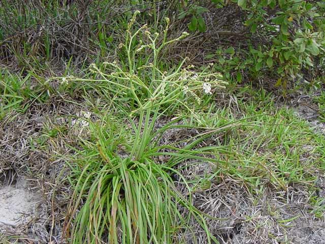 Trachyandra divaricata