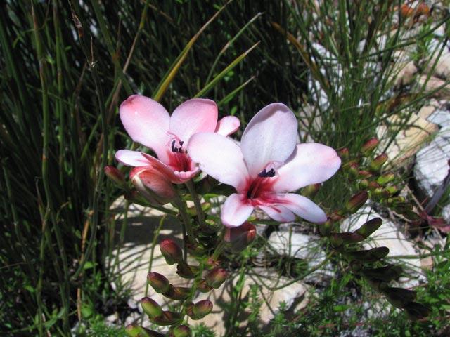 Tritonia cooperi subsp. quadrialata