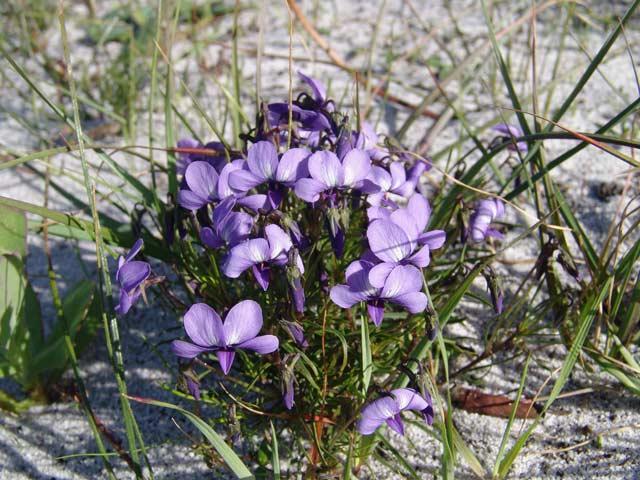Viola decumbens var. decumbens