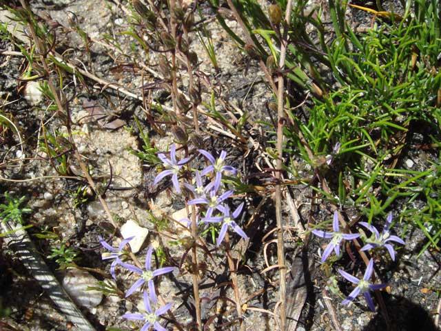 Wahlenbergia subulata