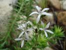 Wahlenbergia tenella var. palustris